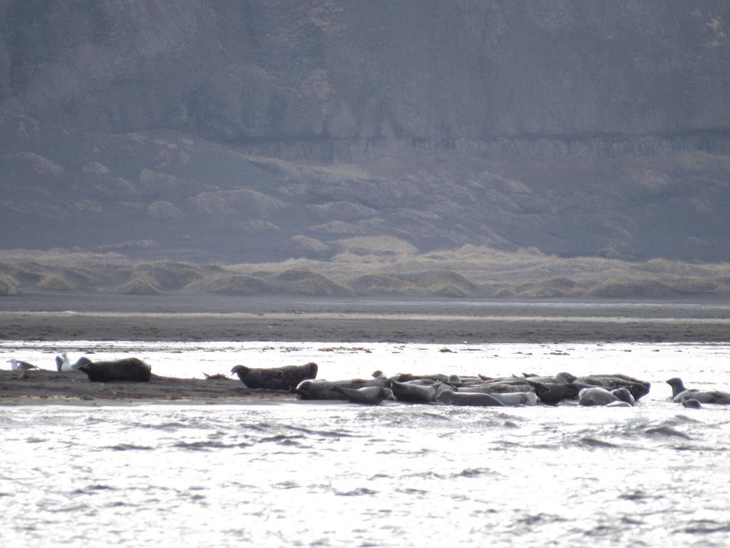 colocia de focas en Hvitserkur
